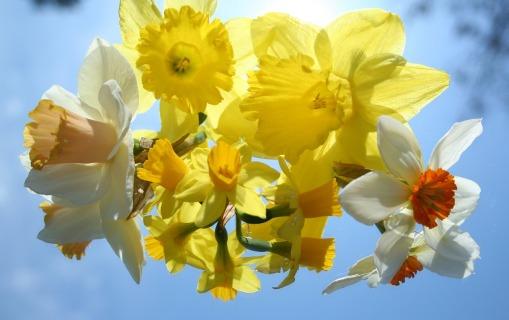 daffodils-22788_1280